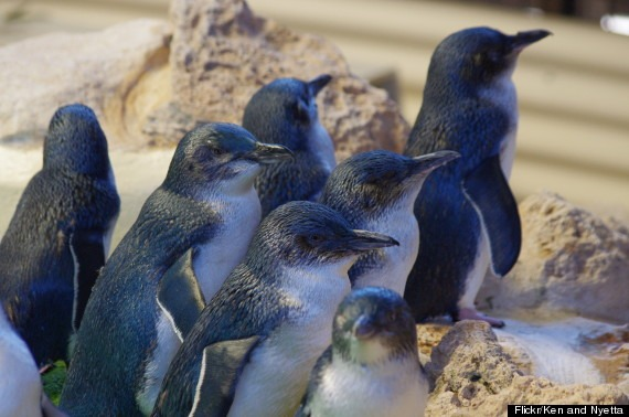 This group of Little Penguins (also known as Fairy Penguins or sometimes Blue Penguins) are being taken care of at a rescue center on Penguin Island. The island is home to 2,000+ wild penguins and 10 in the rescue center.