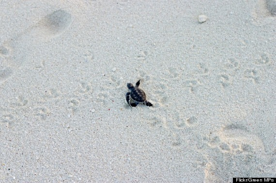 Green Sea Turtle Hatchling, Great Barrier Reef, heads for sea immediatelt after hatching at dusk